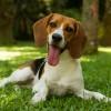 Galeria de Imagens de Estrutura: Clarinha - Nossa hospede Beagle em um passeio no gramado