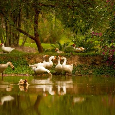 Galeria de Imagens: Nossos outros moradores: os gansos